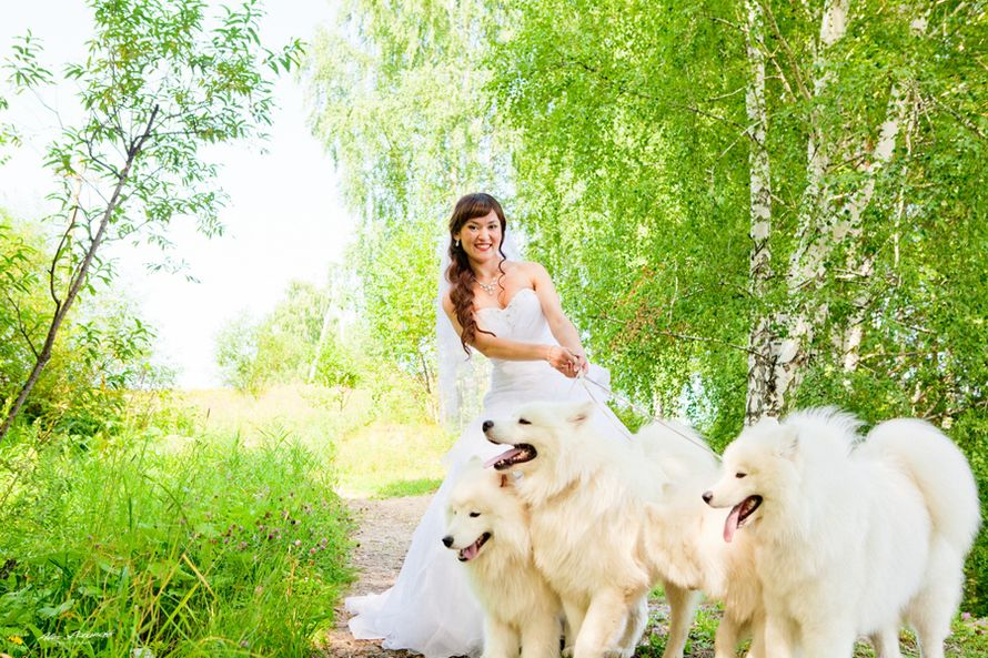Фотосессия с самоедской собакой