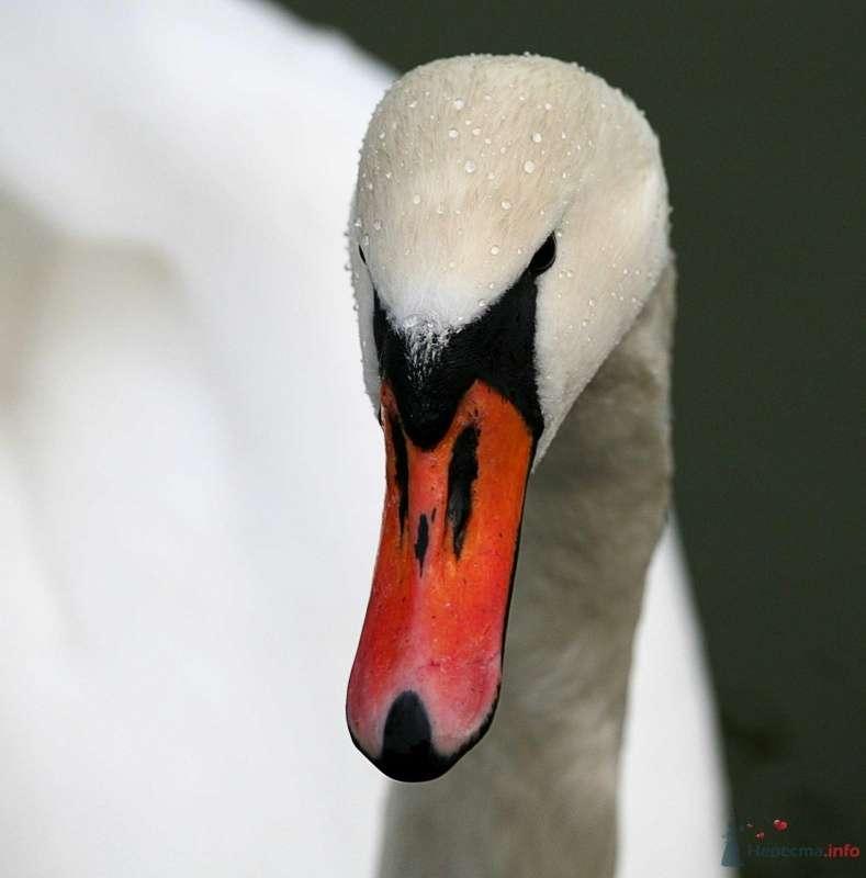 Лебедь - фото 24576 Фотограф Ирина Бруй
